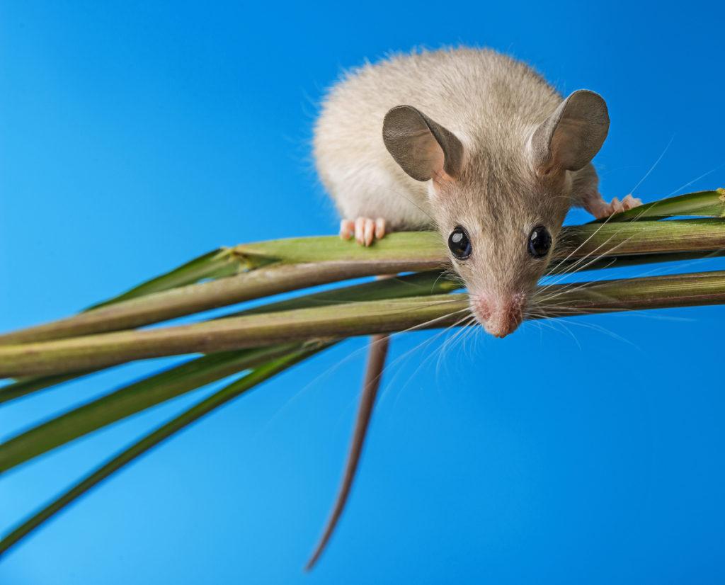 Para fotografiar al ratón espinoso, elegí un fondo azul y dejé que el ratón se moviese libremente por los juncos.