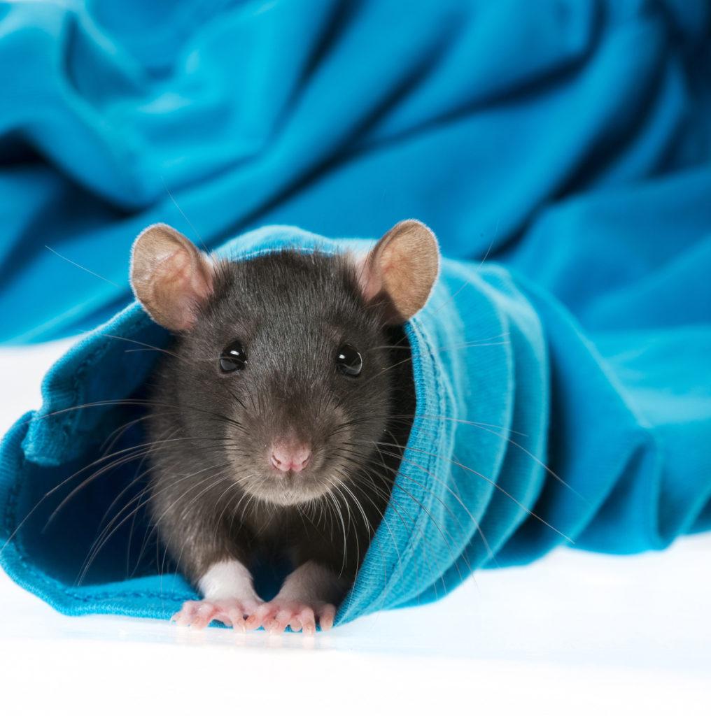 Esta rata noruega que se asoma por la manga de una camiseta disfrutó con las fotos tanto como yo, además creo que se le nota.