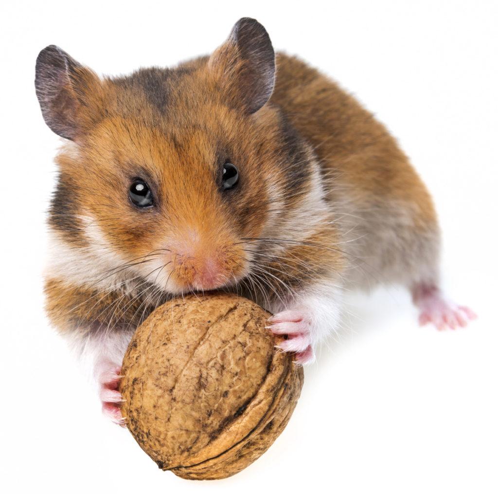 Hamster tratando de abrir una nuez, el animal no trata de huir en absoluto.