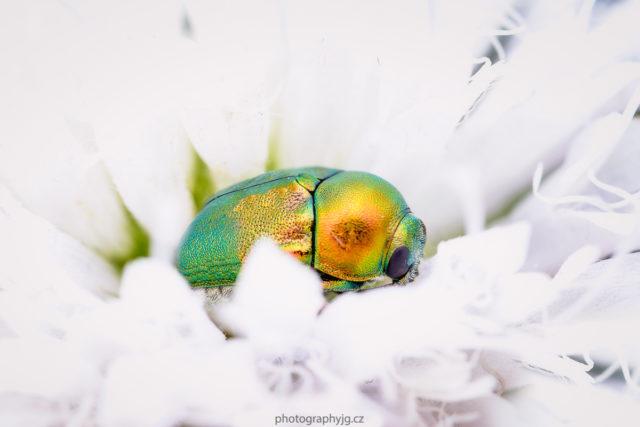 Escarabajo irisado escondido en una flor blanca.