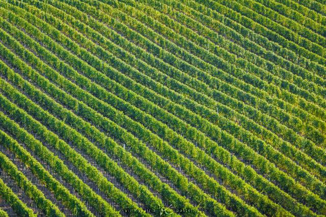 Líneas diagonales de los viñedos de Moravia.