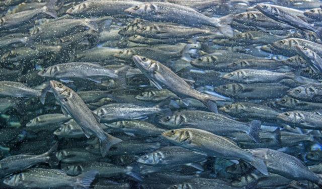 Cómo fotografiar a los habitantes de los acuarios: La lubina es un pez marino muy rápido, si hubiera seleccionado un tiempo mayor, la foto no habría salido nítida.