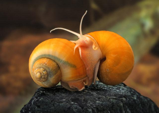 Cómo fotografiar a los habitantes de los acuarios: el caracol manzana.