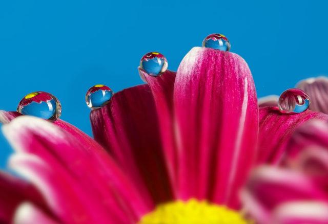 Fotografiando lo reflejado en una gota de agua: En esta gerbera, las gotas se mantienen en la parte superior de los pétalos, en ellas se refleja propia flor.